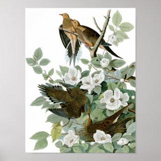Mourning Dove, John James Audubon Poster