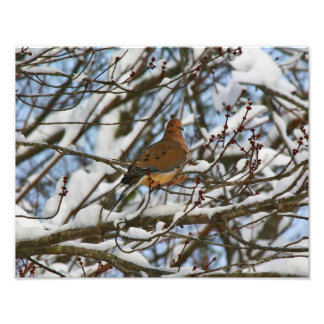 Mourning Dove Perched on Snow Covered Branches Photo Print