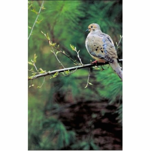 Mourning dove photo cut out