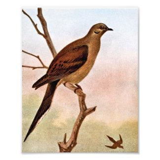 Mourning Dove Vintage Illustration Photo Art