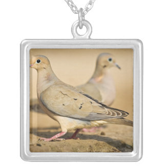Mourning Dove (Zenaida macroura) adults on Silver Plated Necklace