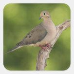 Mourning Dove, Zenaida macroura Square Sticker