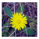 Mouse Ear Hawkweed Poster