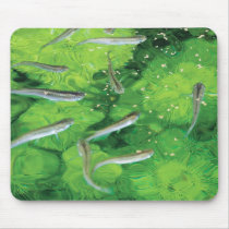 Mouse pad of the Japanese cyprinodont