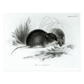 Mouse, Tierra del Fuego, South America c.1832-36 Postcard