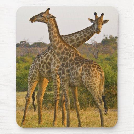 Mousepad de Kenia África de las jirafas del Masai