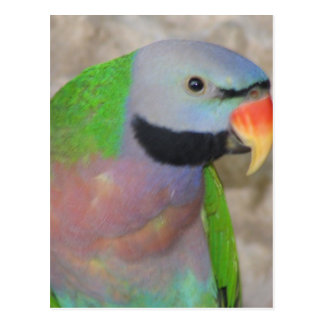 Moustached Parakeet Postcard