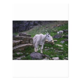 Moutain Sheep Postcard