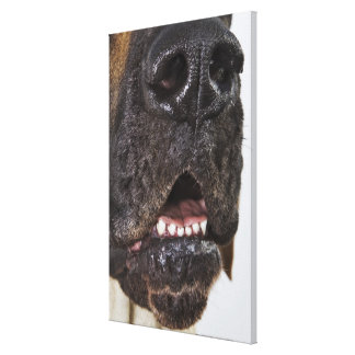 Mouth of Great Dane, close-up Canvas Print