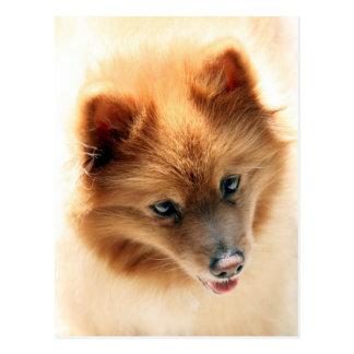 Mr Andy Pure Pomeranian Postcard