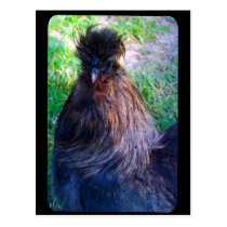 Mr. Fluffy the Silkie Rooster Postcard