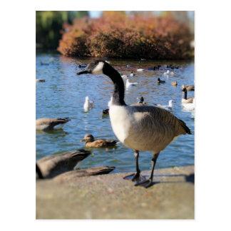 Mr. goose postcard