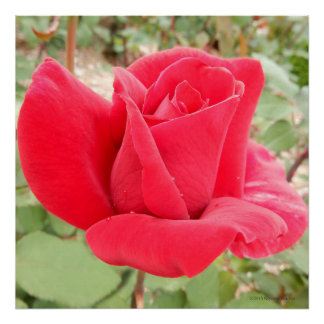 Mr. Lincoln Red Tea Rose Photo Square Poster