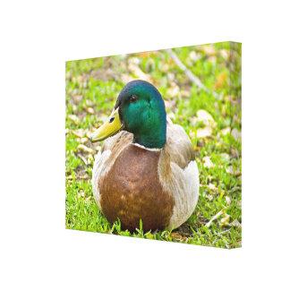 Mr. Mallard the Duck Canvas Print