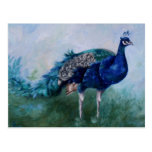 Mr. Peacock Postcard