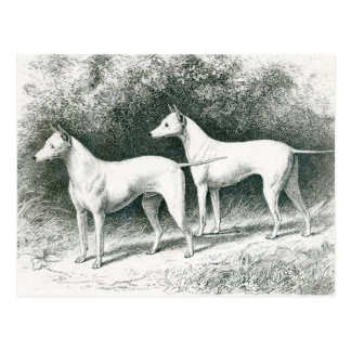 Mr. Vero Shaw's White English Terriers Postcard