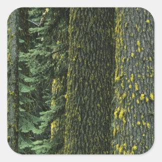 Mt Ashland bosque del Estado del río del granuja Calcomanía Cuadrada