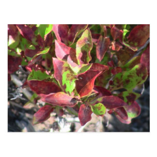 Mt Jefferson Oregon Flora Plants Botany Plantae Postcard