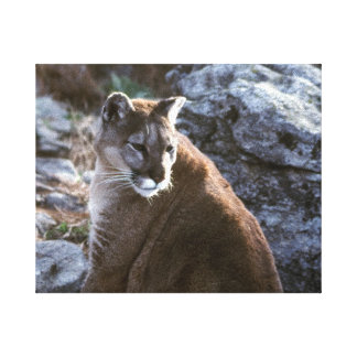 Mt lion sitting canvas print