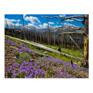 Mt. Washburn Postcard