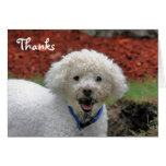 Mud Faced Poodle Dog Thank You Card