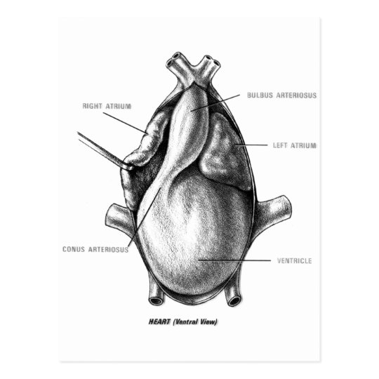 Necturus dissection pictures of wedding