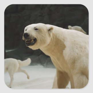 Mueca del oso polar pegatina cuadrada