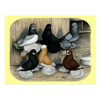 Muffed Tumbler Pigeons Postcard
