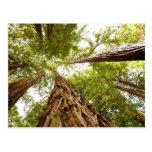 Muir Woods, CA Postcard