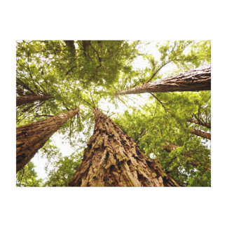 Muir Woods California Canvas Print