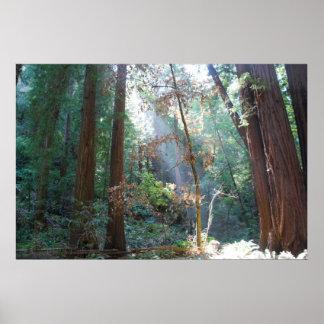 Muir Woods California Poster