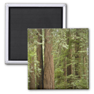 Muir Woods National Monument Northern Refrigerator Magnets