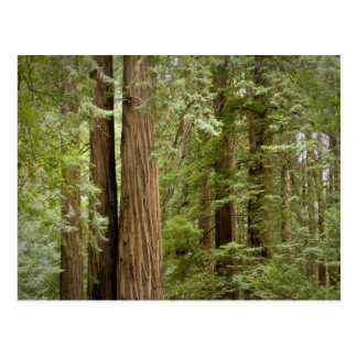Muir Woods National Monument, Northern Postcard