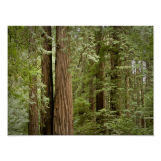 Muir Woods National Monument, Northern Poster