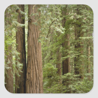 Muir Woods National Monument, Northern Square Sticker