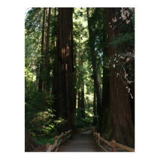 Muir Woods National Monument Post Card