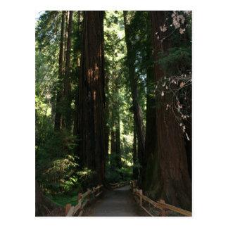 Muir Woods National Monument Postcard