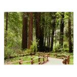 Muir Woods Path I California National Monument Postcard