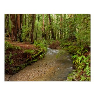 Muir Woods Stream print