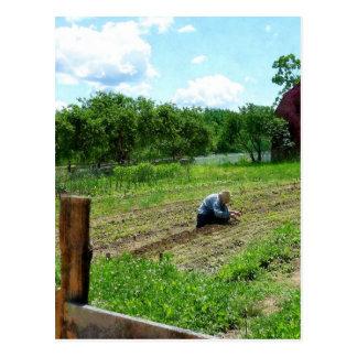 Mujer que planta el jardín cerca de granero tarjeta postal