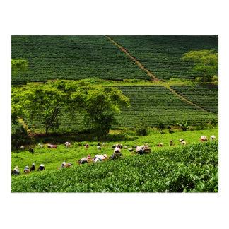 Mujeres que cosechan el té 2 tarjeta postal