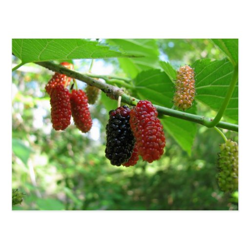 Mulberry Tree Post Card