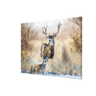 Mule Deer Buck and Doe Canvas Print