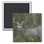 Mule Deer buck browsing in brush Fridge Magnet