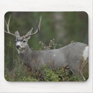 Mule Deer buck browsing in brush Mouse Pad