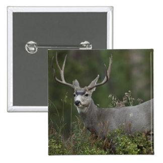 Mule Deer buck browsing in brush Pinback Button