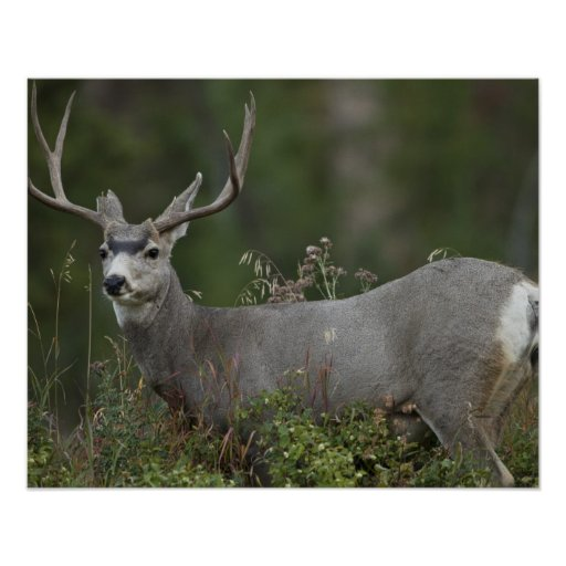 Mule Deer buck browsing in brush Posters