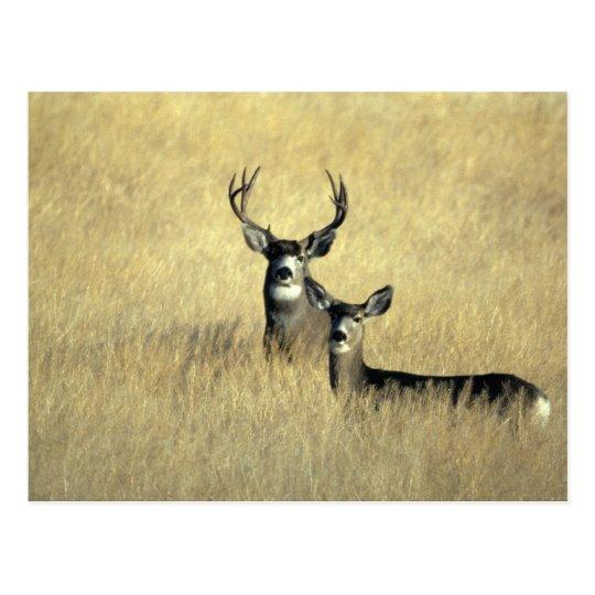 Mule Deer Buck - Doe Postcard