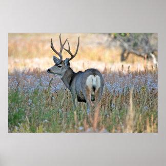 Mule deer buck (Odocoileus hemionus) Poster