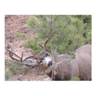 Mule Deer Buck Postcard